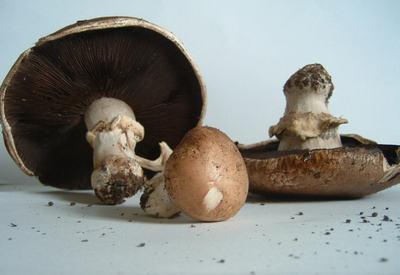 Mushroom_final_1